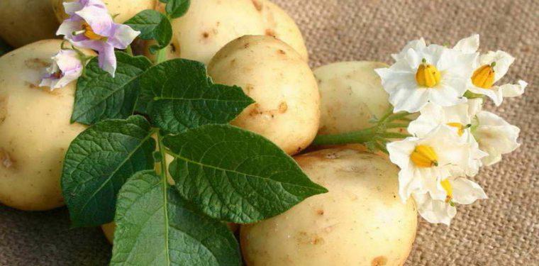Можно ли есть картошку при похудении – на каких диетах разрешено + рецепты диетических картофельных блюд